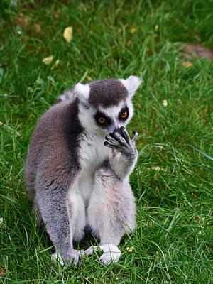 Photograph - Ring-tailed Lemur by Jouko Lehto