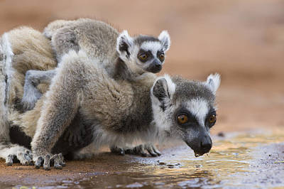 Ring-tailed Lemur Mother Drinking Art Print