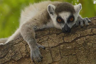 Ring-tailed Lemur Portrait Berenty Art Print by Pete Oxford