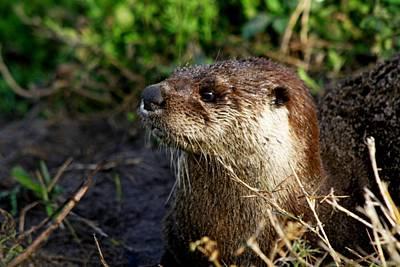 Photograph - River Otter by Ira Runyan