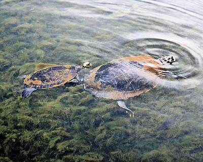 Photograph - River Turtles by Sheri McLeroy