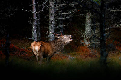 Photograph - Roaring Stag by Gavin Macrae