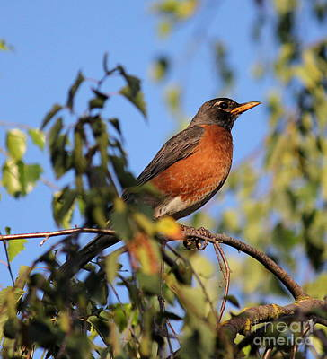 Photograph - Robin by Erica Hanel