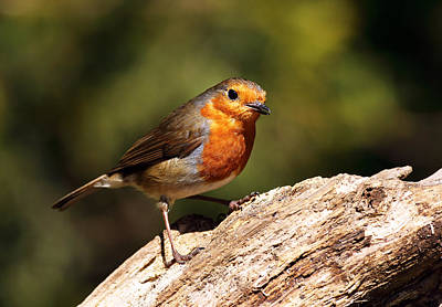 Red-breasted Robin Photograph - Robin by Grant Glendinning