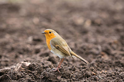 Photograph - Robin by Mark Severn