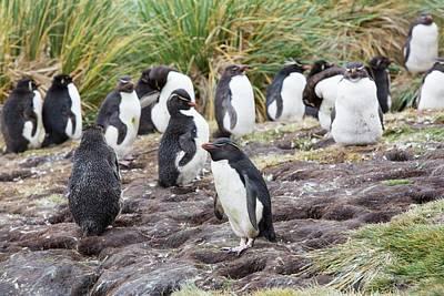 Rockhopper Penguins Art Print