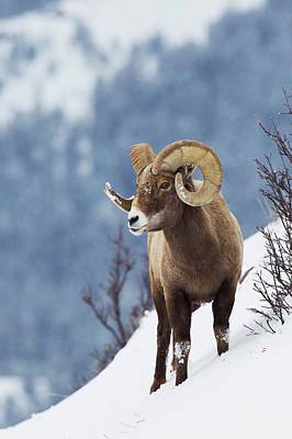 Rocky Mountain Bighorn Sheep Art Print