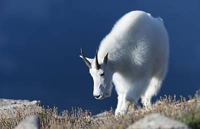 Rocky Mountain Goat Photograph - Rocky Mountain Goat by Gary Langley