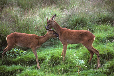 Photograph - Roe Buck And Doe  by Phil Banks