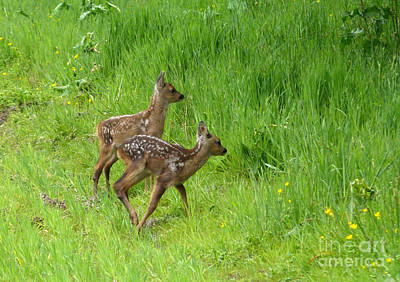 Photograph - Roe Fawns  by Phil Banks