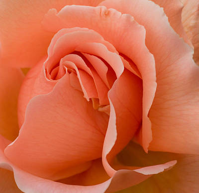 Photograph - Romantic Orange Rose  by Jane McIlroy