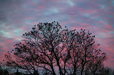 Roost Photograph - Rooks And Jackdaws At Sunset by Ashley Cooper