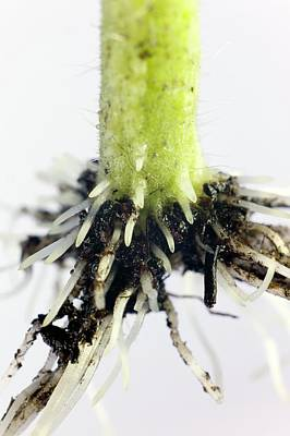 Solanum Lycopersicum Photograph - Root Formation By A Tomato Cutting by Dr Jeremy Burgess