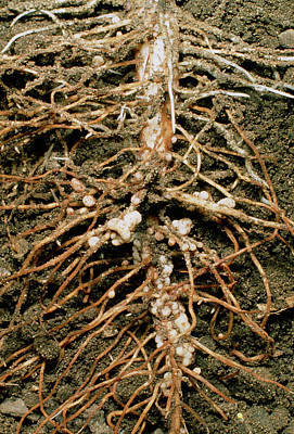 Root Nodules Of Broad Bean Art Print by Dr Jeremy Burgess/science Photo Library