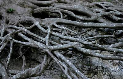 Treeroots Photograph - Roots by Susanne Baumann