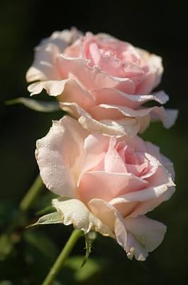 Floribunda Photograph - Rosa 'johann Strauss' Flowers by Maria Mosolova