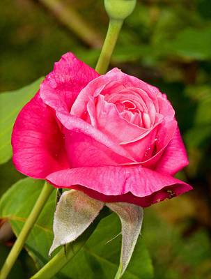 Photograph - Rose Flower by Millard H Sharp