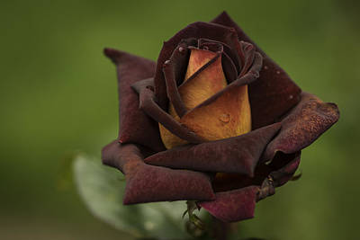 Photograph - Rose by Jean-Jacques Thebault