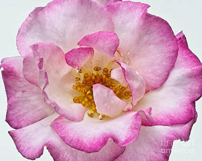 Photograph - Rose by Marion Galt