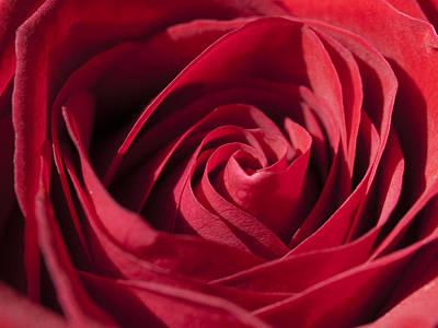 Rose Red Art Print by Tara Lynn