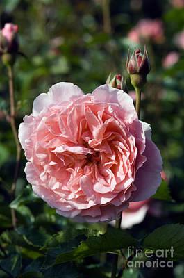 Floribunda Photograph - Rose Rosa Laimant by Georgette Douwma