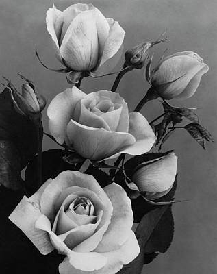 black and white rose photographs fine art america