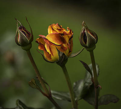 Photograph - Roses by Jean-Jacques Thebault
