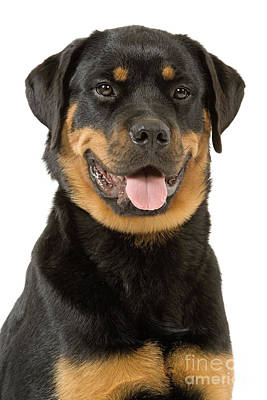 Rottweiler Wall Art - Photograph - Rottweiler Dog by Jean-Michel Labat