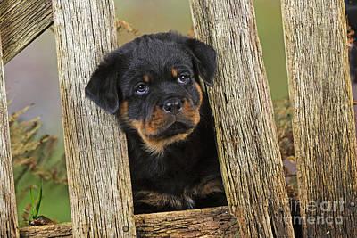 Rottweiler Puppy Dog Art Print by John Daniels