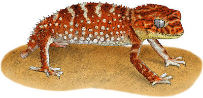 Rough Knob-tailed Gecko Art Print