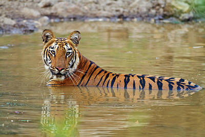 Royal Bengal Tiger At The Waterhole Print by Jagdeep Rajput