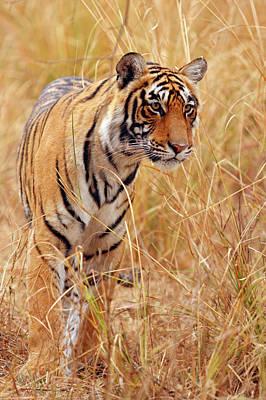 Royal Bengal Tiger Watching Art Print