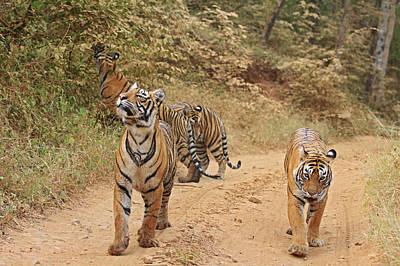 Royal Bengal Tiger Photograph - Royal Bengal Tigers On The Track by Jagdeep Rajput