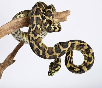 Royal Python Art Print