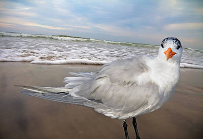 Royal Tern Art Print by Betsy Knapp