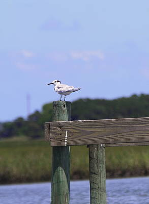 Sound Photograph - Sandwich Tern by Cathy Lindsey