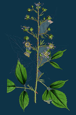 Rubus Radula File-stemmed Bramble Art Print by English School
