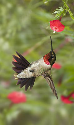 Photograph - Ruby-throat Hummingbird by Gregory Scott