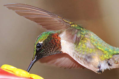 Photograph - Ruby Throated Hummingbird by Barbara West