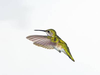Photograph - Ruby-throated Hummingbird by Wave Royalty Free