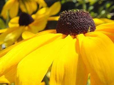 Photograph - Rudbeckia Up Close by Gene Cyr