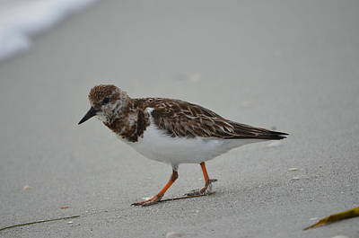Photograph - Ruddy Turnstone by James Petersen