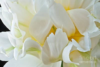 Photograph - Ruffled White Tulip by Art Barker