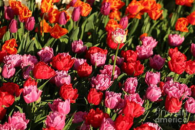 Tulips Photograph - Ruffly Pink And Red Tulips by Carol Groenen