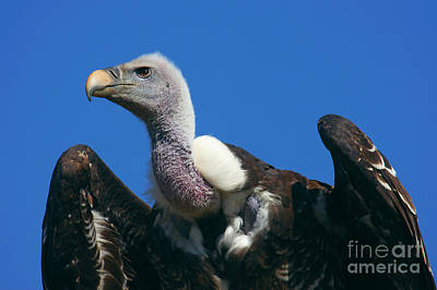 Photograph - Ruppel's Griffon Vulture by Nick  Biemans