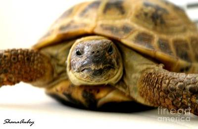 Russian Tortoise Original