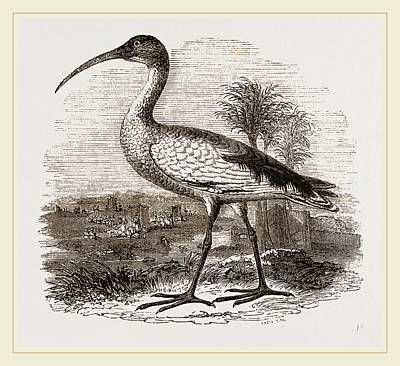 Ibis Drawing - Sacred Ibis by Litz Collection