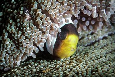Hiding Photograph - Saddleback Anemonefish by Ethan Daniels
