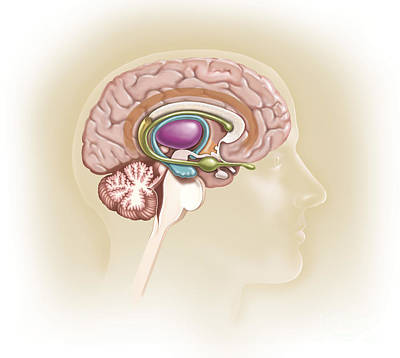 Sagittal View Of Human Brain Showing Art Print by TriFocal Communications