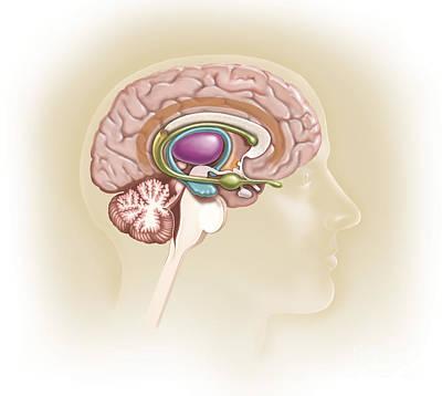 Human Brain Digital Art - Sagittal View Of Human Brain Showing by TriFocal Communications